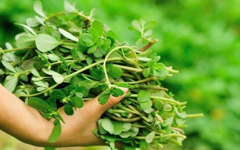 Purslane - the misunderstood weed